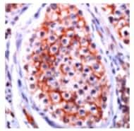 Immunohistochemistry (Formalin/PFA-fixed paraffin-embedded sections) - Anti-Oligodendrocyte Specific Protein antibody (ab74269)