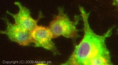 Immunocytochemistry/ Immunofluorescence - Anti-Gelsolin antibody (ab74420)