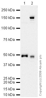 Western blot - Anti-PEDF antibody (ab74439)
