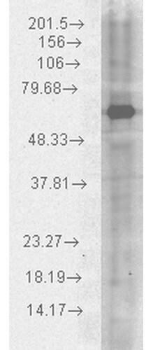 Western blot - Anti-Hsp70 antibody (ab74440)