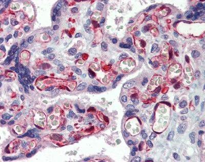 Immunohistochemistry (Formalin/PFA-fixed paraffin-embedded sections) - Anti-NOL5A antibody (ab74783)