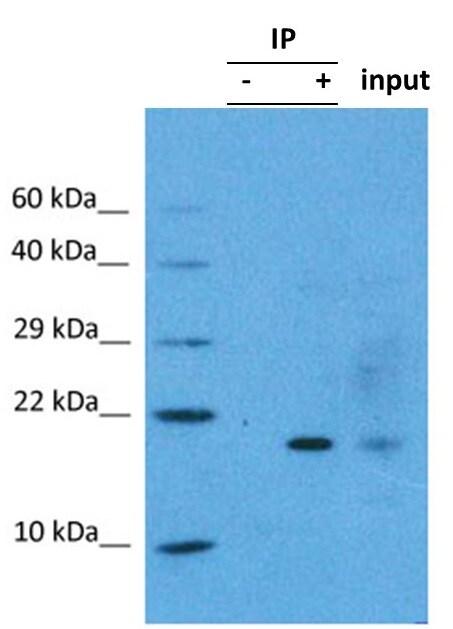 Immunoprecipitation - Anti-FUNDC1 antibody (ab74834)