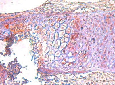 Immunohistochemistry (Formalin/PFA-fixed paraffin-embedded sections) - Anti-Parathyroid Hormone Receptor 1 antibody (ab75150)