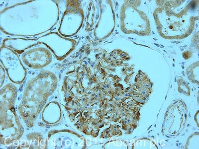 Immunohistochemistry (Formalin/PFA-fixed paraffin-embedded sections) - Anti-Glucagon Receptor antibody (ab75240)