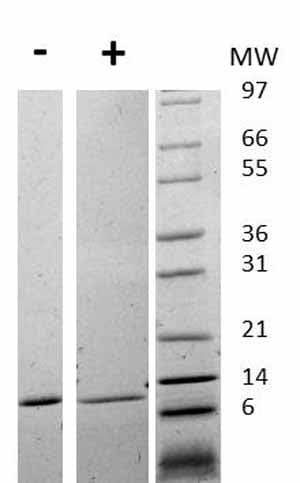 Other - Recombinant human MIF protein (ab75432)