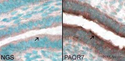 Immunocytochemistry - Anti-MPRA antibody (ab75508)