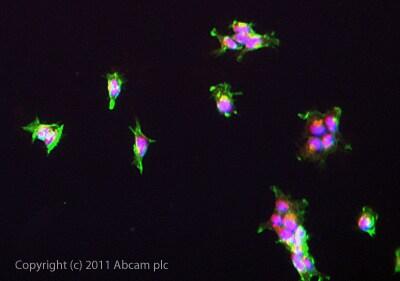 Immunocytochemistry/ Immunofluorescence - Anti-Calbindin antibody [AF2E5] (ab75524)