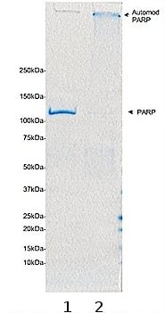 SDS-PAGE - Recombinant Human PARP1 protein (ab75605)