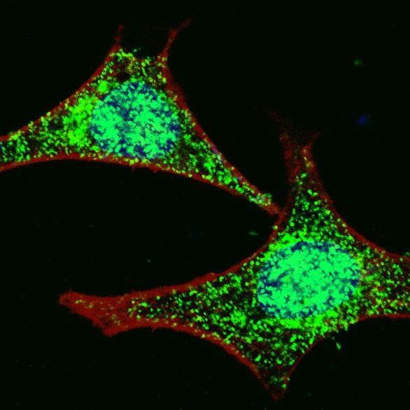 Immunocytochemistry/ Immunofluorescence - Anti-LGR5 antibody (ab75732)