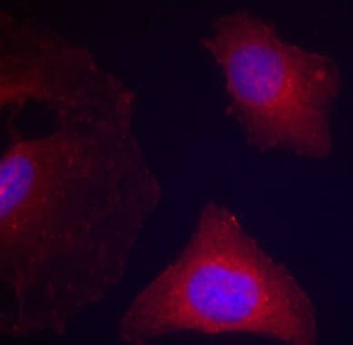 Immunocytochemistry/ Immunofluorescence - Anti-GSK3 beta (phospho Y216) + GSK3 alpha (phospho Y279) antibody (ab75745)