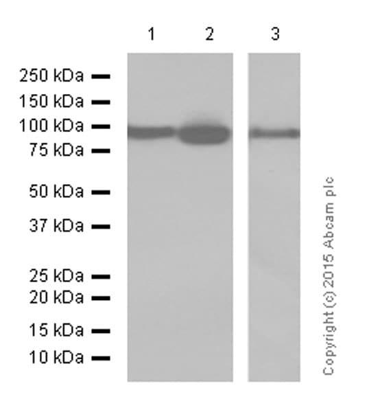 Western blot - Anti-EEF2/Elongation factor 2 antibody [EP880Y] (ab75748)