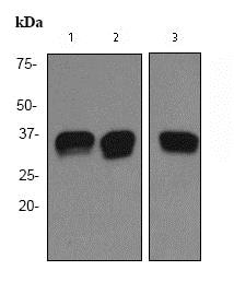 Western blot - Anti-PACT (PKR activating protein) / PRKRA antibody [EPR3224] (ab75749)