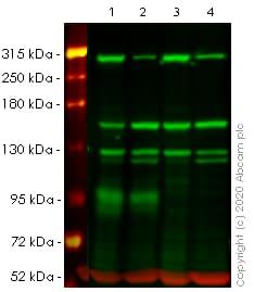Western blot - Anti-NEAS antibody [EPR3017] (ab75755)