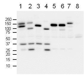 Western blot - Anti-PARP1 antibody (ab75757)