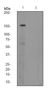 Western blot - Anti-SMC1A (phospho S957) antibody [EPR2857Y] (ab75768)