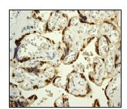Immunohistochemistry (Formalin/PFA-fixed paraffin-embedded sections) - Anti-HMG4 antibody [EP2839Y] (ab75782)