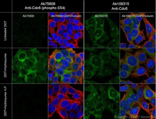 Immunocytochemistry/ Immunofluorescence - Anti-Cdc6 (phospho S54) antibody [EPR759Y] (ab75809)