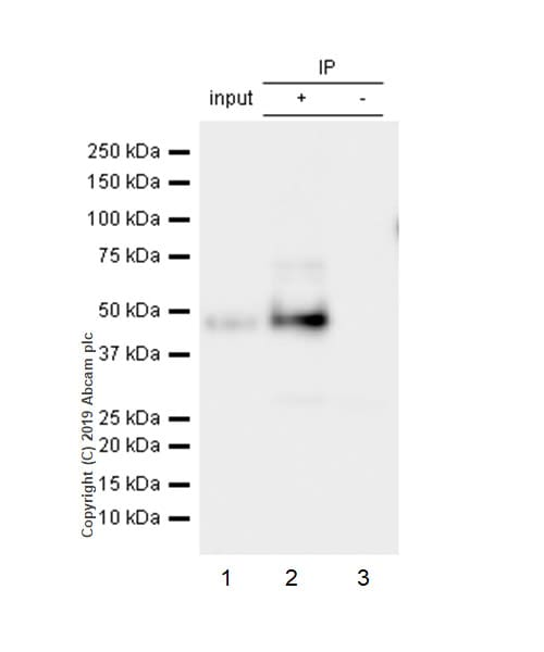 Immunoprecipitation - Anti-GAP43 antibody [EP890Y] (ab75810)