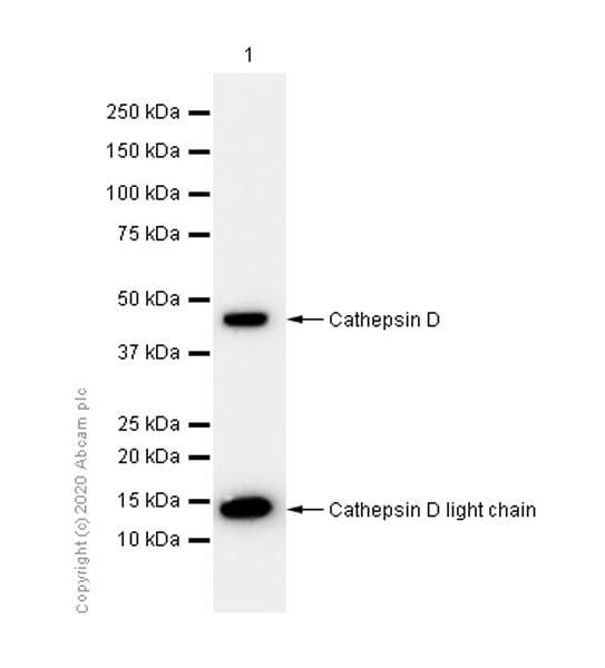 Western blot - Anti-Cathepsin D antibody [EPR3056Y] (ab75811)
