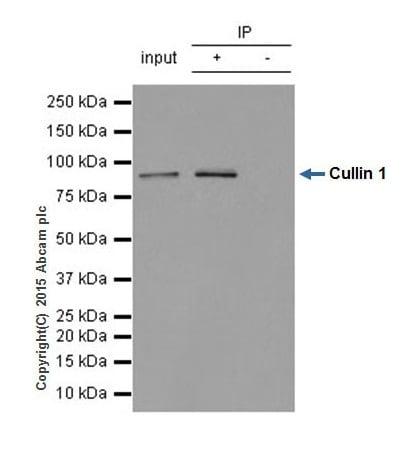 Immunoprecipitation - Anti-Cullin 1 antibody [EPR3103Y] (ab75817)