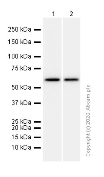 Western blot - Anti-WASP/Wiskott-Aldrich syndrome protein antibody [EP2541Y] (ab75830)