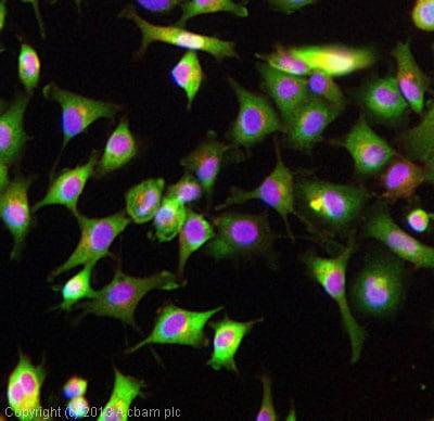 Immunocytochemistry/ Immunofluorescence - Anti-AMHR2 antibody - Aminoterminal end (ab75845)