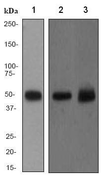 Western blot - Anti-PTP1B antibody [EP1841Y] (ab75856)