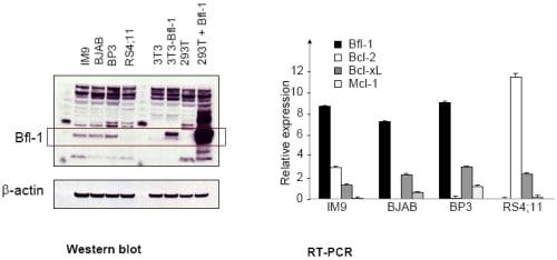 Western blot - Anti-BFL-1/GRS antibody (ab75887)
