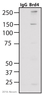 Immunoprecipitation - Anti-Brd4 antibody (ab75898)