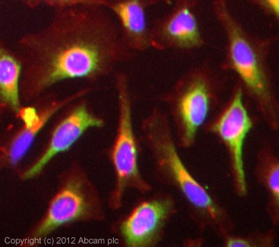 Immunocytochemistry/ Immunofluorescence - Anti-FGFR2 antibody - N-terminal (ab75984)