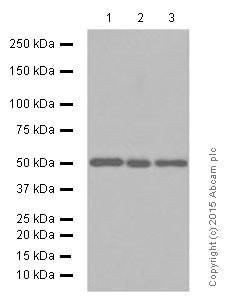 Western blot - Anti-AP2M1 antibody [EP2695Y] (ab75995)