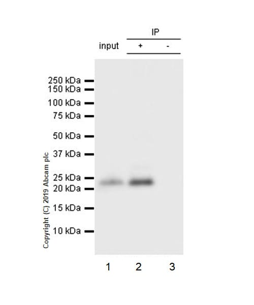 Immunoprecipitation - Anti-PARK7/DJ1 antibody [EP2815Y] (ab76008)