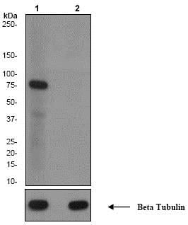 Western blot - Anti-PKC alpha (phospho T497) antibody [EP2608Y] (ab76016)