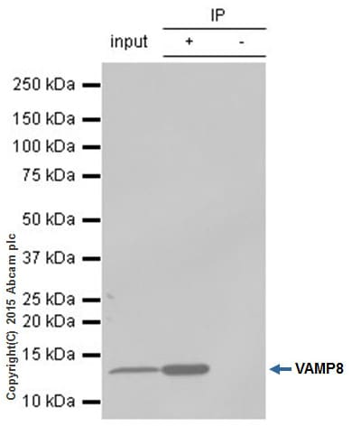 Immunoprecipitation - Anti-VAMP8/EDB antibody [EP2629Y] (ab76021)