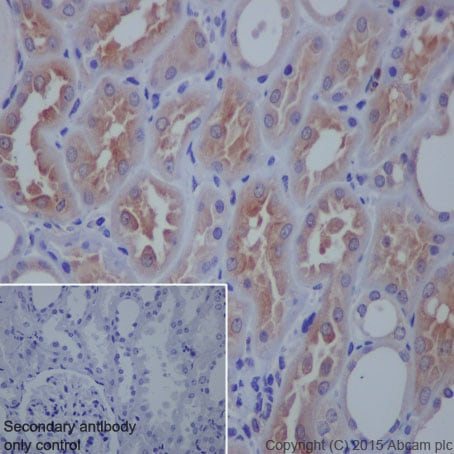 Immunohistochemistry (Formalin/PFA-fixed paraffin-embedded sections) - Anti-VAMP8/EDB antibody [EP2629Y] (ab76021)