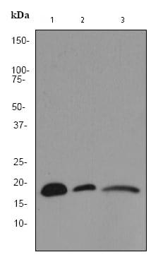 Western blot - Anti-VAMP8/EDB antibody [EP2629Y] (ab76021)
