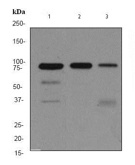 Western blot - Anti-MCM5 antibody [EP2682Y] (ab76023)