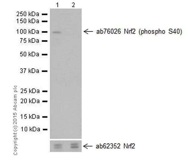 Western blot - Anti-Nrf2 (phospho S40) antibody [EP1809Y] (ab76026)