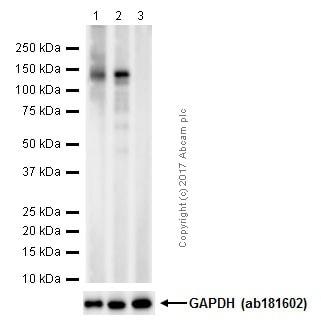 Western blot - Anti-SIRT1 (phospho S47) antibody [EPR2849Y] (ab76039)