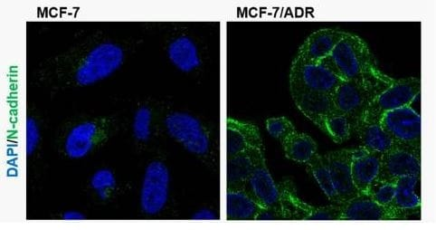 Immunohistochemistry (Formalin/PFA-fixed paraffin-embedded sections) - Anti-N Cadherin antibody (ab76057)