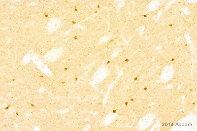 Immunohistochemistry (Frozen sections) - Anti-nNOS (neuronal) antibody [EP1855Y] (ab76067)