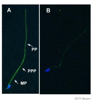 Immunocytochemistry/ Immunofluorescence - Anti-nNOS (neuronal) antibody [EP1855Y] (ab76067)