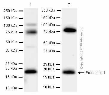 Western blot - Anti-Presenilin 1/PS-1 antibody [EP2000Y] (ab76083)