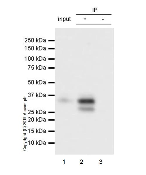 Immunoprecipitation - Anti-HOXB4 antibody [EP1919Y] (ab76093)