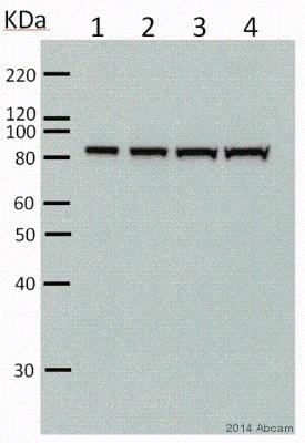 Western blot - Anti-PSD95 antibody [EP2652Y] (ab76115)