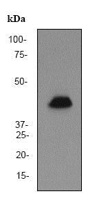 Western blot - Anti-GATA1 antibody [EP2819Y] (ab76121)