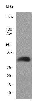 Western blot - Anti-Endo G antibody [EP1665Y] (ab76122)