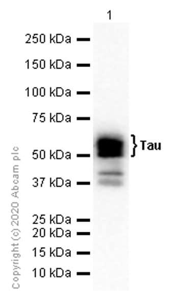 Western blot - Anti-Tau antibody [EP2456Y] (ab76128)