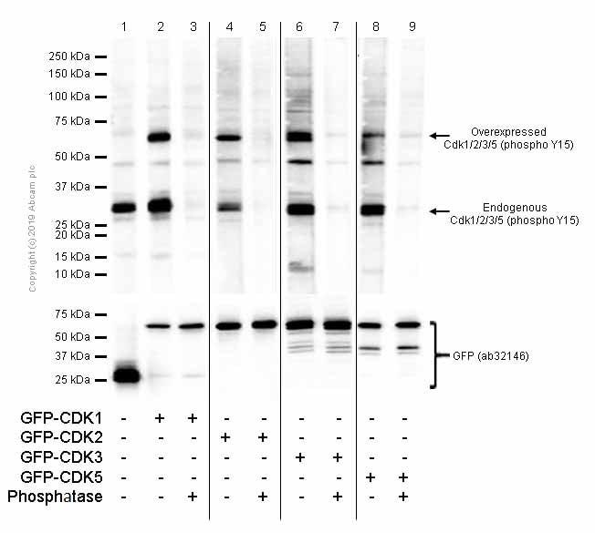 Western blot - Anti-Cdk1 + Cdk2 + Cdk3 + Cdk5 (phospho Y15) antibody [EPR2233Y] (ab76146)