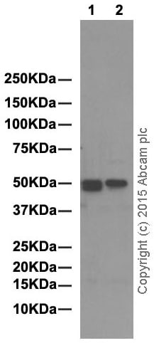 Western blot - Anti-YB1 antibody [EP2708Y] (ab76149)